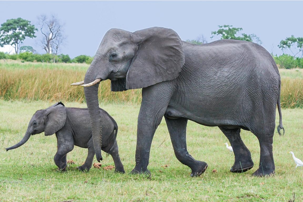 Elefanten, Chobe Nationalpark